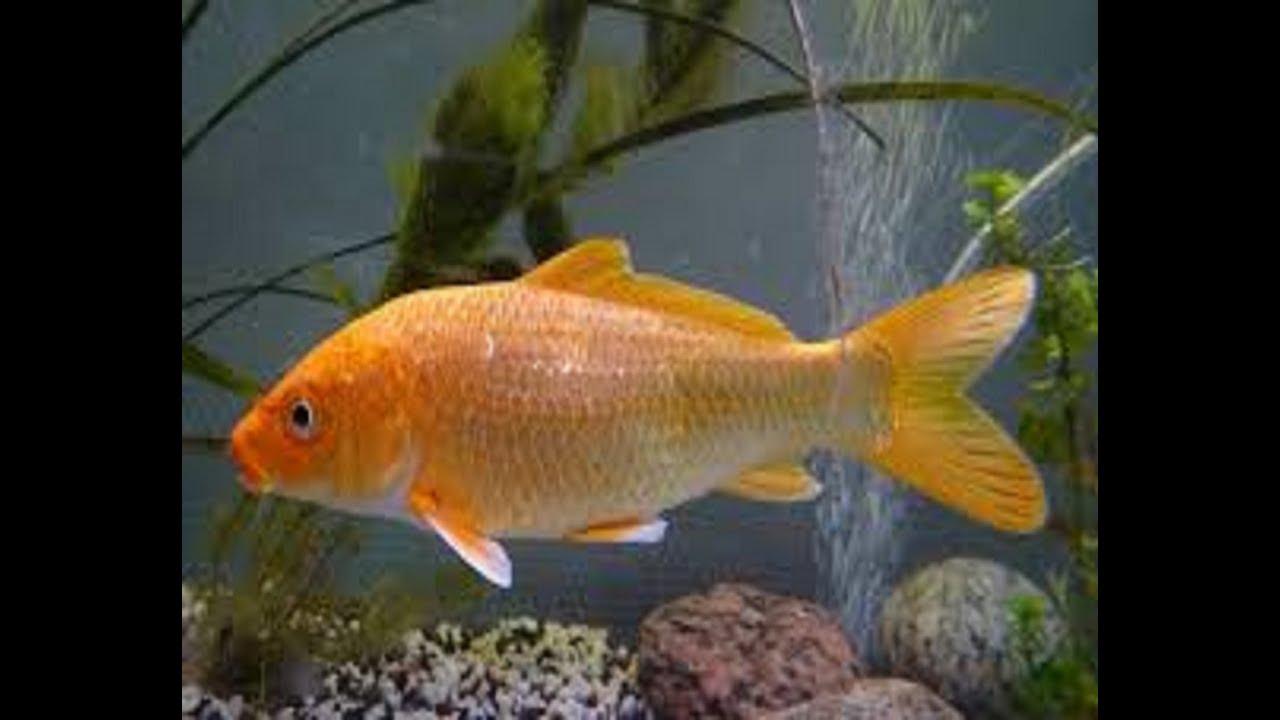 Colorful fish dancing youtube for Criadero de carpas