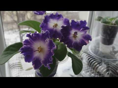 Фиалка DS-Сияющий Колокольчик первое цветение