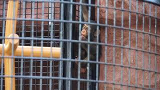 2018年3月6日 野毛山動物園 チンパンジーのコウタロウ君(2016.9.4生・1...