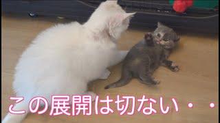 泣ける!母猫は赤ちゃんを溺愛し過ぎて・・自分が直ぐに母猫と別れたからなのか