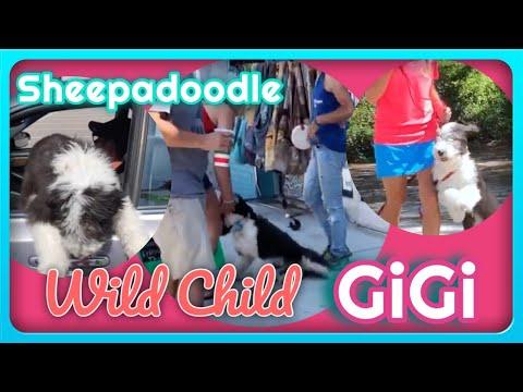Wilmington Dog Trainers - Sheepadoodle Gigi