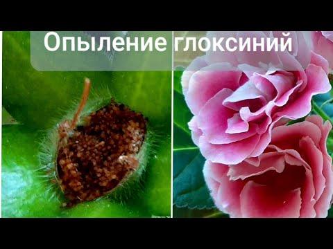 Опыление глоксиний.Созревание семян.