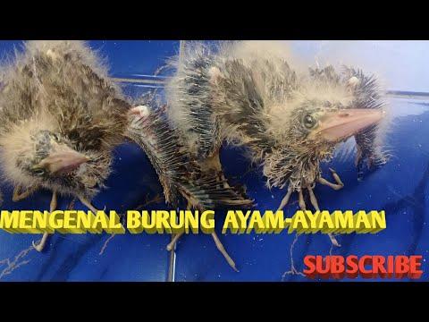 Mengenal Burung Ayam Ayaman Burung Rawa Youtube