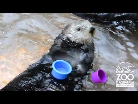 Nellie The Sea Otter Stacks Cups At Point Defiance Zoo & Aquarium