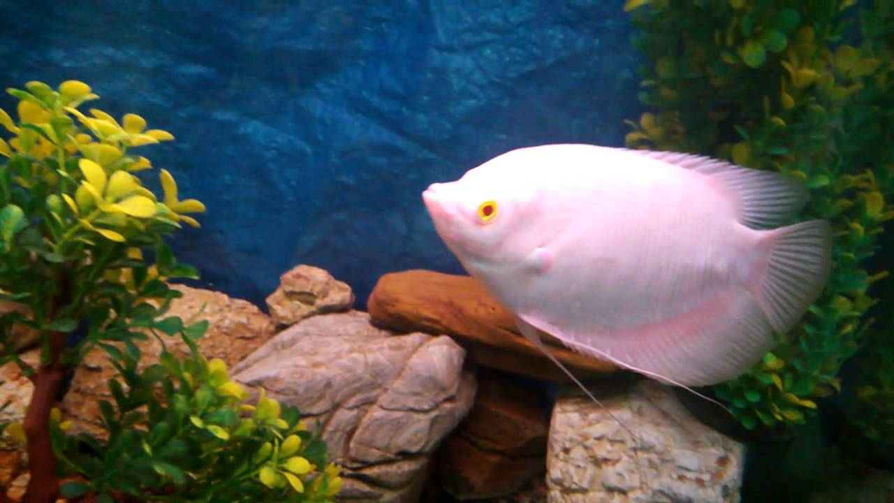Freshwater aquarium fish with red eyes - My Red Eyed Albino Gaint Gourami