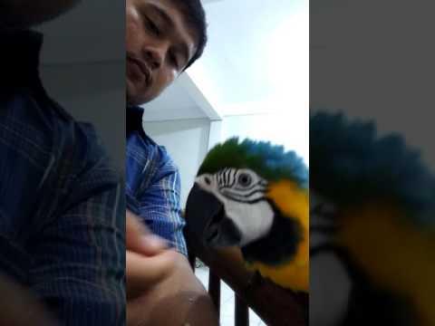 AVlog Burung macaw biru Jinak Manja