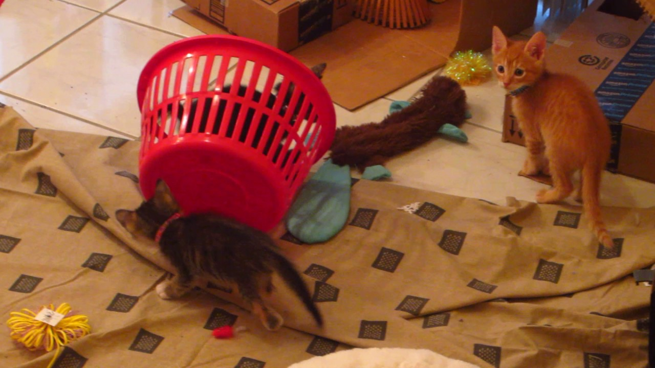 funny kittens rolling around in a red laundry basket 6 weeks old