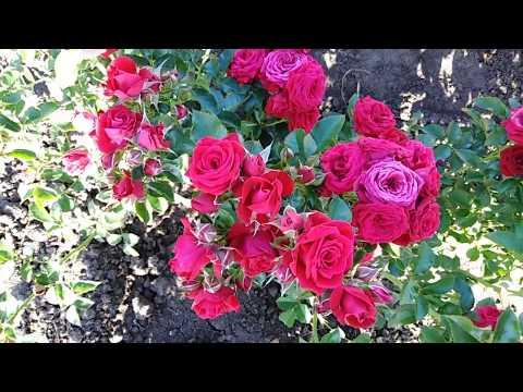 Спрей роза Микадо красный (Red Micado) на rozapochtoi.ru