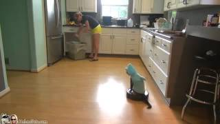 Cat Wearing A Shark Costume Cleans The Kitchen On A Roomba