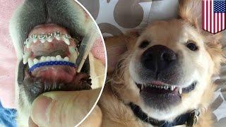 米ミシガン州に住むゴールデンレトリバーの子犬、ウエズリーくんの矯正...