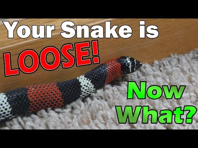 what-to-do-if-your-snake-escapes