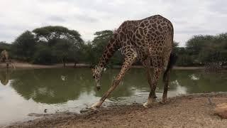 Żyrafa przy wodopoju RPA Afryka