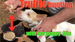 How to train your dog to find truffles