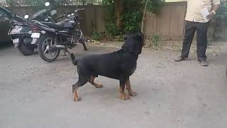 Indian champion Rottweiler