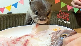 Kotaro the Otter Happy 1st Birthday!