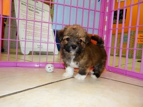 Havanese, Puppies, Dogs, For Sale, In Memphis, Tennessee ...