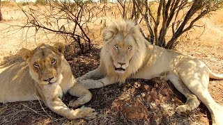 Meet The Characters: Thor, Charlie, Jubari, Neige, Ndira and Lola - Part 2 | The Lion Whisperer