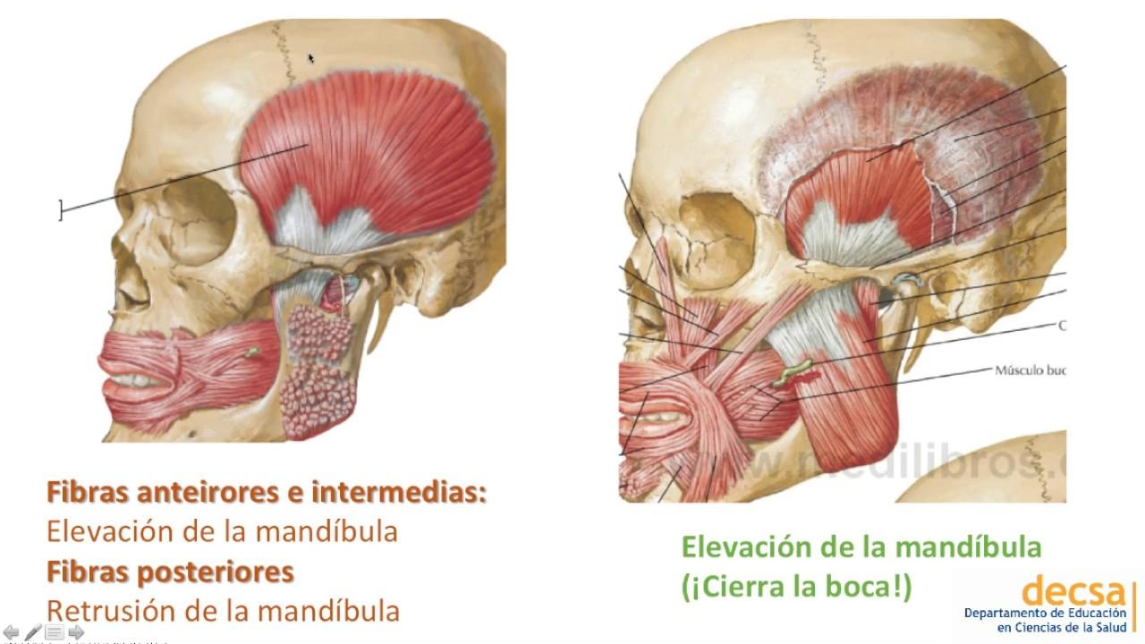 ATM y Músculos de la Masticación - Anatomía - YouTube