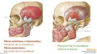 ATM y Músculos de la Masticación  Anatomía