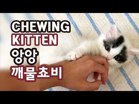 앙앙 아기 고양이 깨물쵸비 Chewing Kitten Chobee