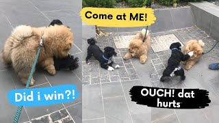 My Chow Chow Puppy started Play Fighting