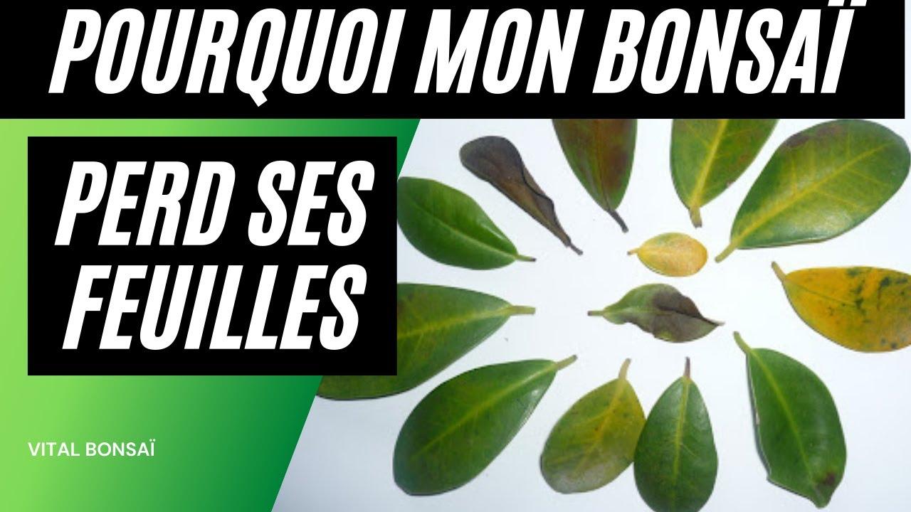 pourquoi mon bonsai perd ses feuilles ? - youtube