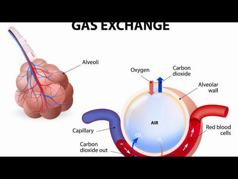 Difference Between Alveoli and Alveolus