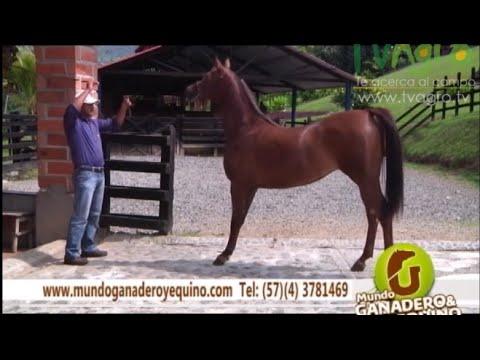 Origen y Características del Caballo Árabe - TvAgro por Juan Gonzalo Angel