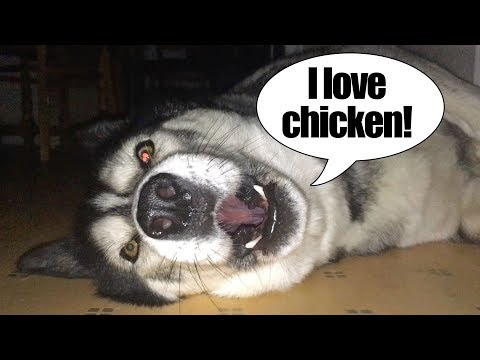 Husky Sings A Song About Chicken | With Lyrics