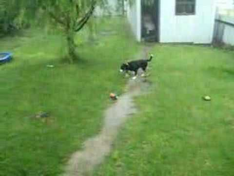 Duck Chases Dog During Storm