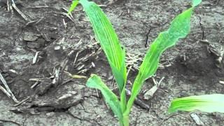 zinc deficiency on corn 2011