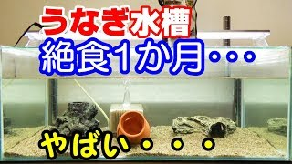 うなぎ絶食の結果・・・水槽メンテナンス【2018日淡水槽#40】