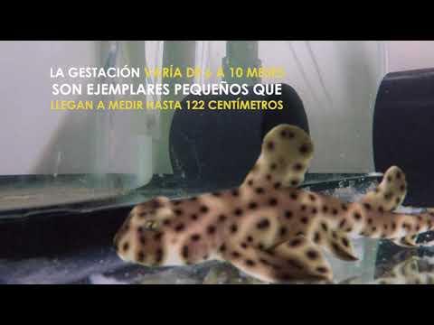 Nacimiento de Tiburon Cornudo