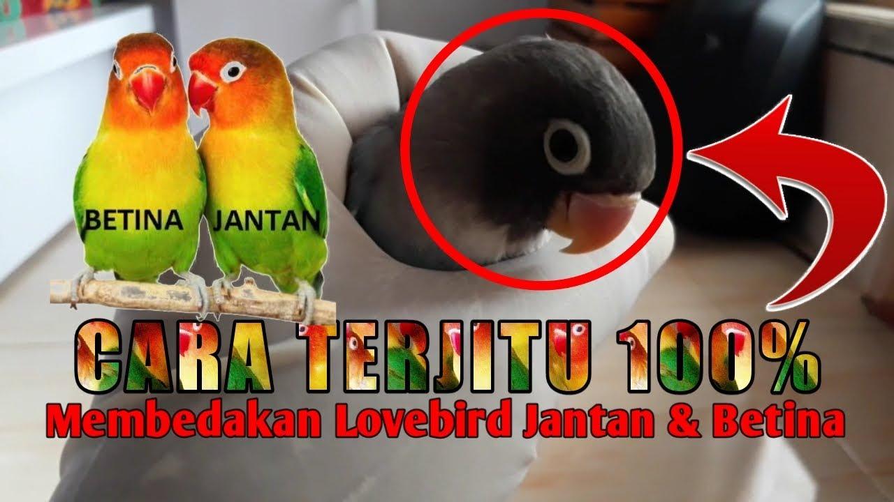Rahasia 7 Cara Jitu Membedakan Lovebird Jantan Dan Betina Dengan Akursi 100 Youtube
