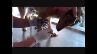 Собака с переломом предплечья и голени(Cайт: http://vosys-optima.com.ua Собаке на переломы предплечья и голени, был установлен аппарат VOSYS-OPTIMA by Kiselev I.G., после..., 2014-08-29T13:39:45.000Z)