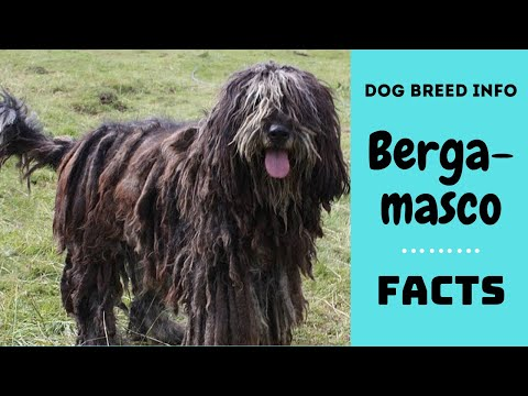 Bergamasco dog breed. All breed characteristics and facts about Bergamasco dogs
