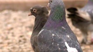 Güvercin Yetiştiriciliği Taklacı Güvercin Yarışması
