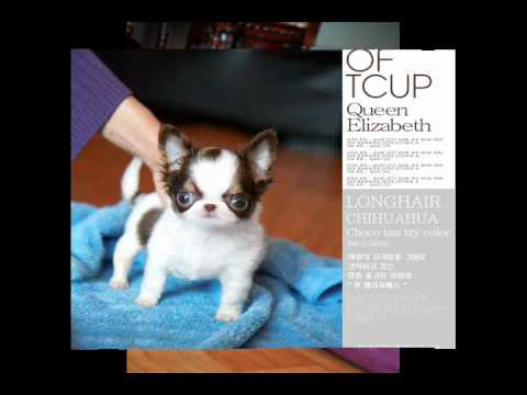 Tiny Chihuahua chocolate tricolors, sale puppies for sale,dog for sale