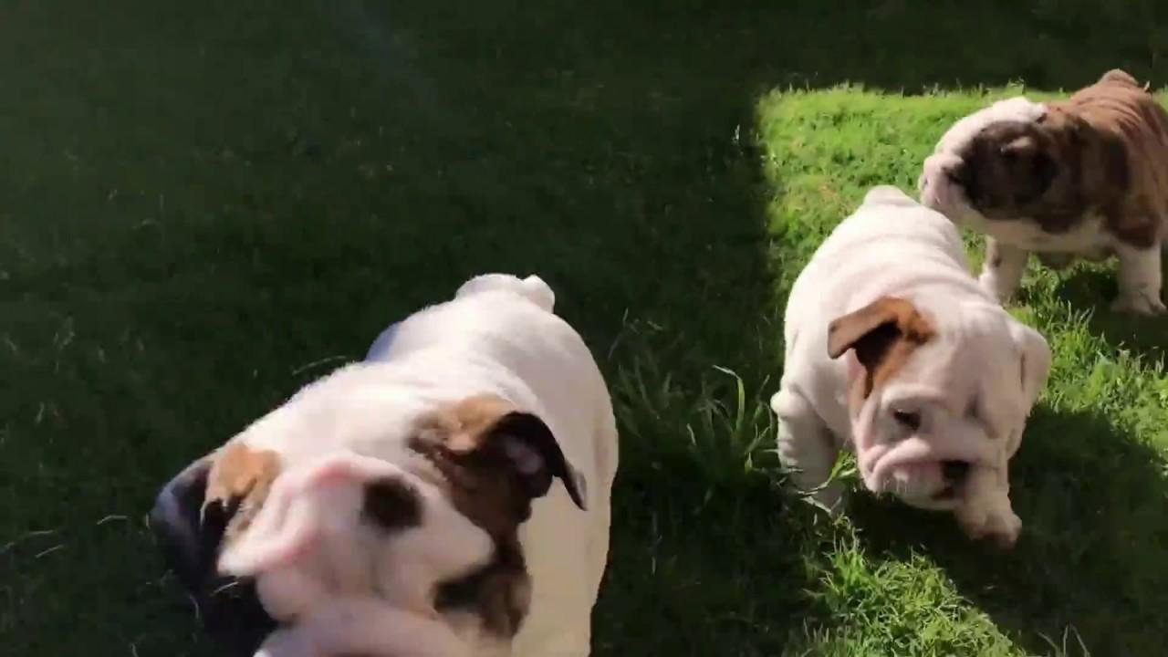 English Bulldog Puppies For Sale Youtube