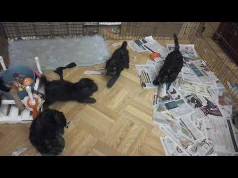 Airy Step Bedlington terrier kennel, litter L(6)