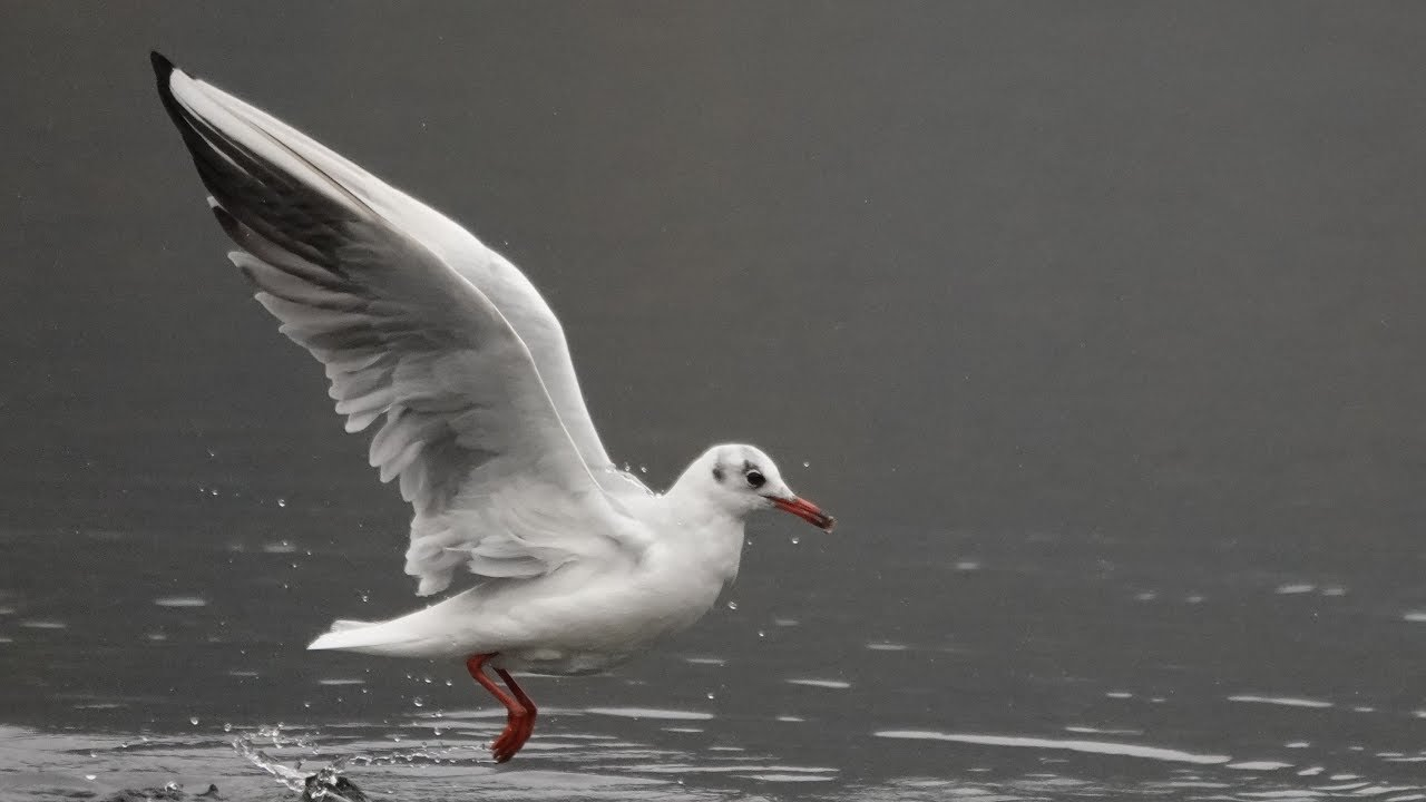 nature-photos / Gulls in motion with Sony Highspeed Camera RX10 IV saved as  1080p video