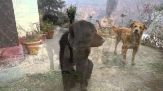 Gaddi Dog In Shimla