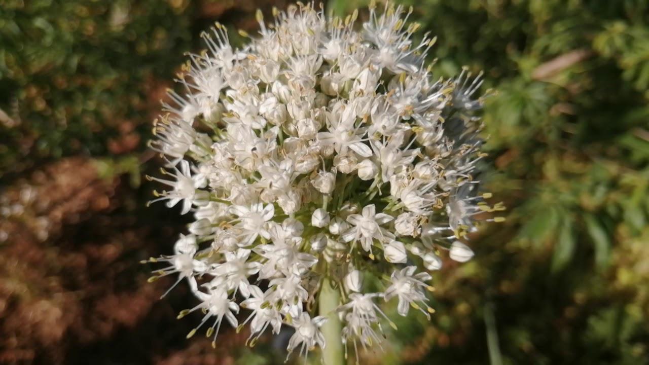 زهرة البصل.. يحبها النحل كثيرا و يرعى عليها بشكل قوي جدا 😊😊