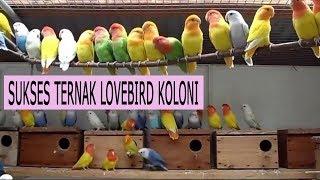 Ternak Lovebird Koloni Bagi Pemula Agar Cepat Bertelur [Panduan Lengkap]