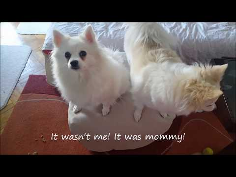 German Spitz: Angels in the house