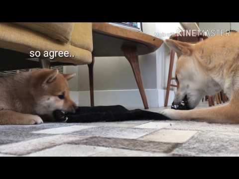 Shiba Inus are just like humans!