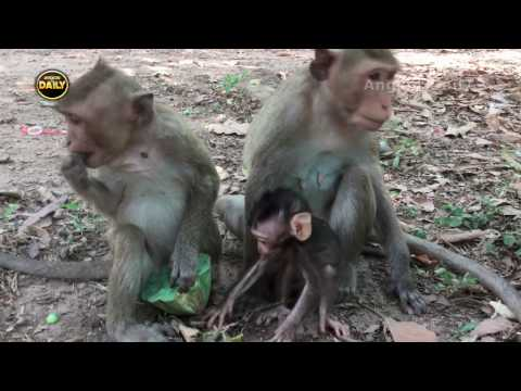 Thumbnail: The Breaking Cute Baby Monkey from his Mum. Angkor Daily 144