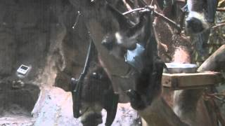 オリイオオコウモリ(上野動物園):Ryukyu Flying Fox (Ueno Zoo)