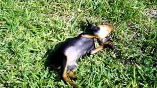 Our Min Pin Journey: Playing In The Yard - 9 Weeks