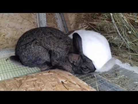 видео: Сукрольность. Как проверить беременность крольчихи